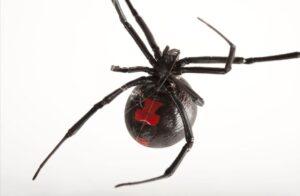 Aranha Viuva negra