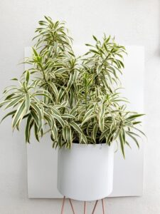 Planta Pleomele