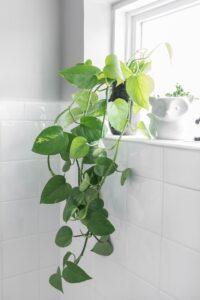 Planta Jiboia