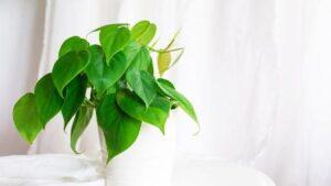 Planta Filodendro